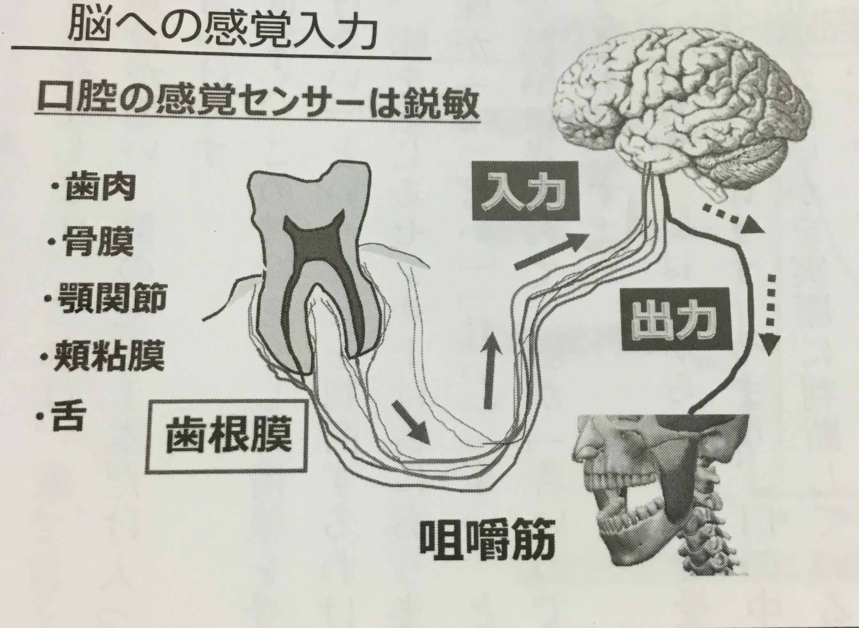 歯根膜は鋭敏なセンサー